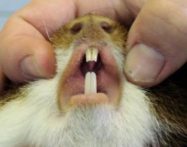 Zähne können nachwachsen meerschweinchen Meerschweinchen hat