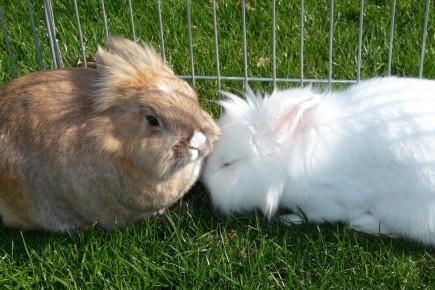 kaninchen knirscht mit zähnen